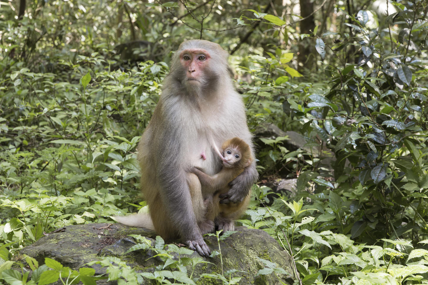 A mother monkey feeds her youngster