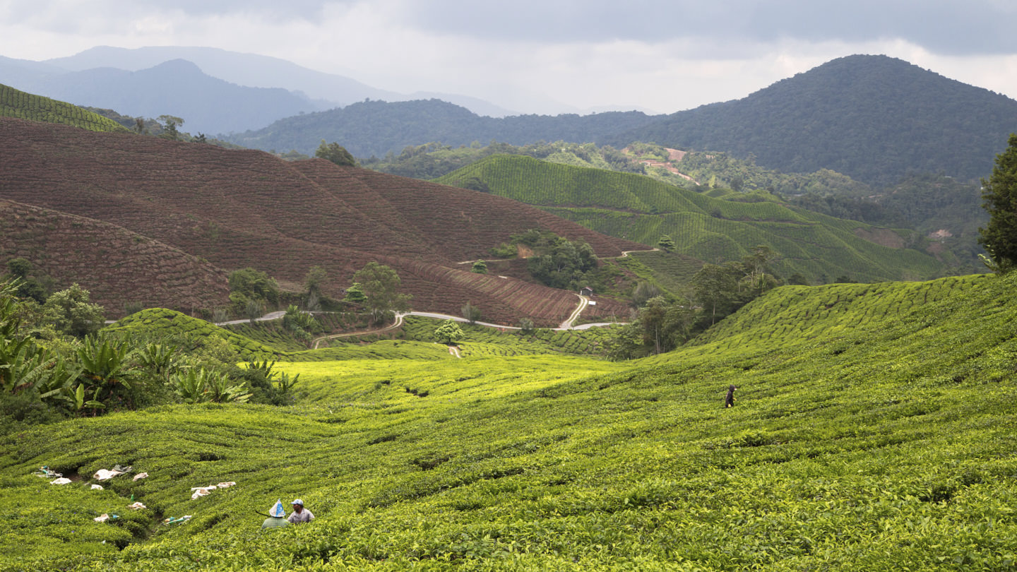 Looking out onto the sprawling tea fields of the Cameron Highlands